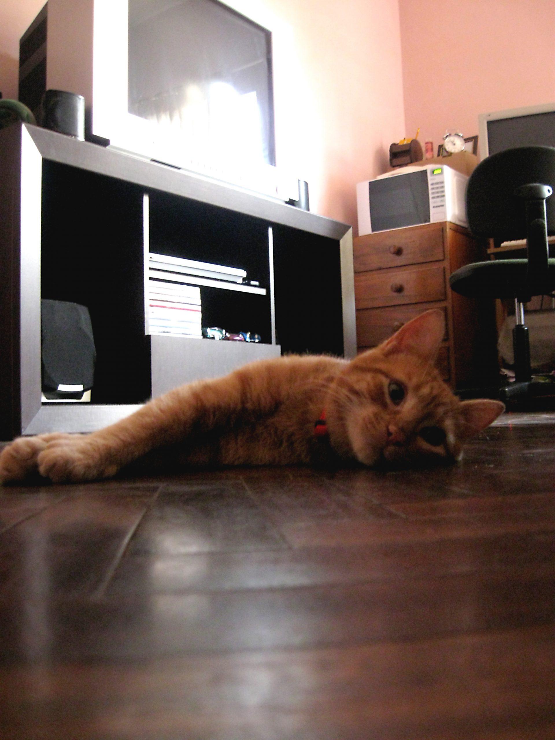 parketvloer met kat